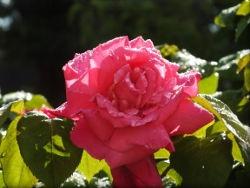 DSCF3600 rose calas.JPG