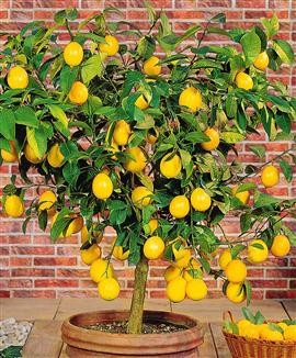 citronnier jaune.jpg