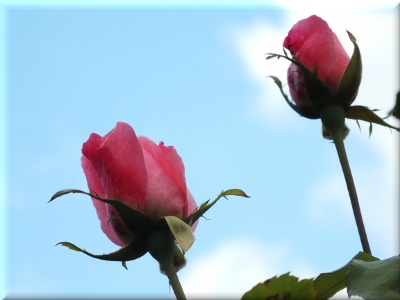 rosesDSCF423614102017.JPG