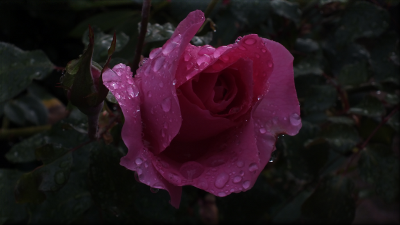 DSCF4552 rose sage.png
