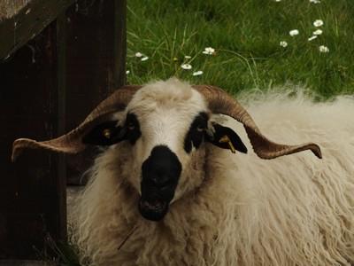 DSCF0888 mouton cause toujours.jpg