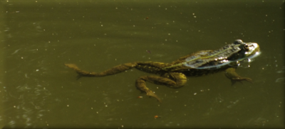DSCF3603 froggy en avance.png