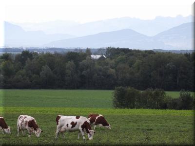 DSCF0164 vaches pays de gex.png