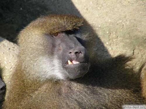 babouin gueule cassée.jpg