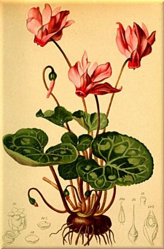 Cyclamen_europaeum_Atlas_Alpenflora.jpg