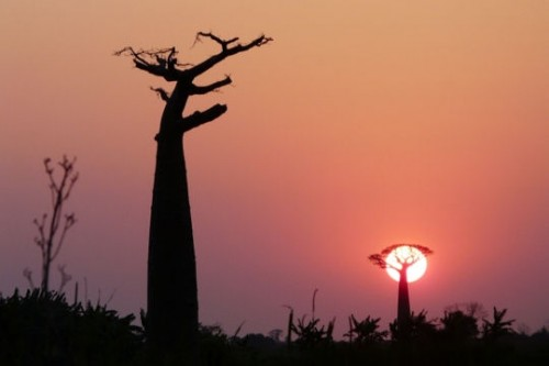 baobabs-arrondis-madagascar.jpg