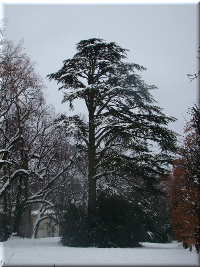 cèdre neige 13_1_2010_1.JPG