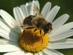 abeille marguerite.jpg