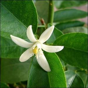 fleur-citronnier.jpg