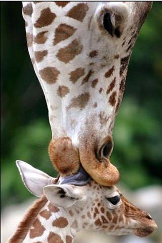bisou girafe.jpg